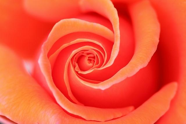 オレンジのバラの花アップ